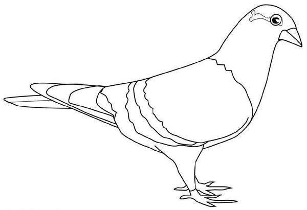 Pigeon - Dessin de pigeon ...